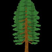 Tree_hinoki